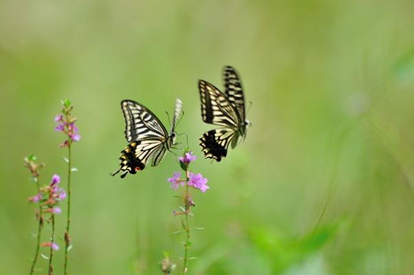 アゲハ蝶 園内全体に生息してるかもしれませんね。探してみるのも楽しみです。