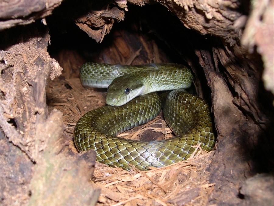青大将 蛇もいるんですね・・・出会っちゃったら正直怖いです
