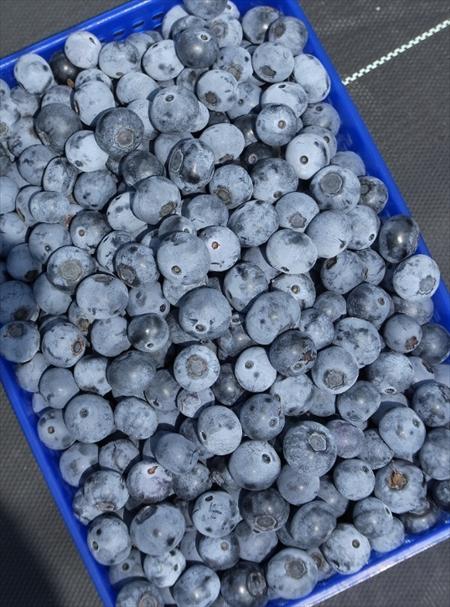 秋にはミカン、レモン、キウイ、柿、柚子が収穫できます