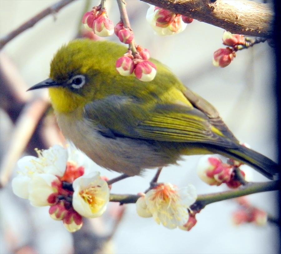 梅とウグイス。春の訪れを感じさせてくれますね。 画像参照:tairaのウォーキング日記4